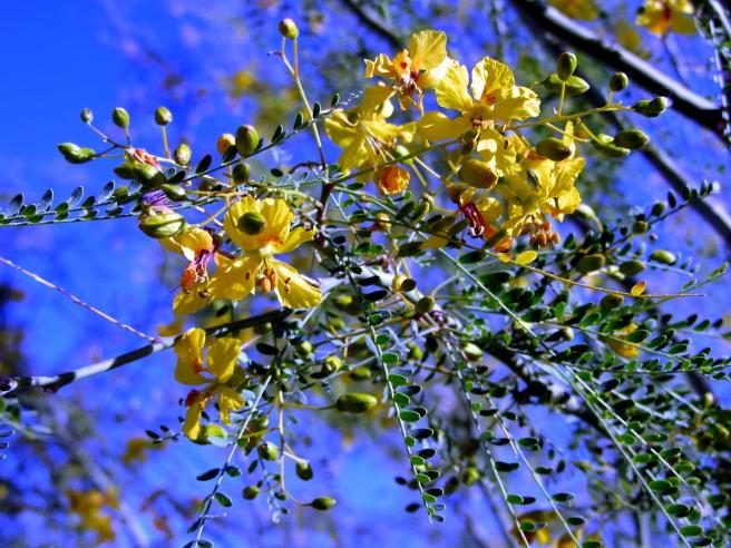 Palo verde blossoms, Tucson, Ariz.