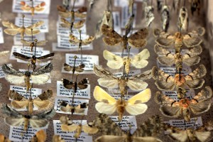 The moth collection of John Palting, one of the moth hunters featured in the video. Photography by Susan E. Swanberg.